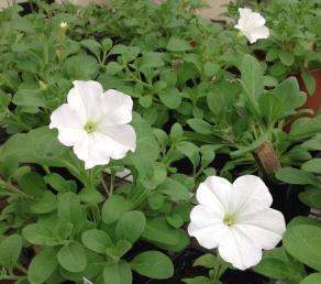 FFA Prairie City blooms